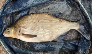 LESZCZE RAZ JESZCZE Można by powiedzieć, że leszcz to dość pospolita ryba, a złowienie jej to prosta rzecz. Owszem leszcze do wagi ok. 1kg trafiają się w naszych wodach całkiem często i prosty zestaw gruntowy wystarczy, aby je łowić. Jednak złowienie dużego okazu o wadze 2-3 kg to już z pewnością nie tak łatwe zadanie. Przede wszystkim niełatwo tak duże ryby spotkać. Po drugie, trzeba trochę wędkarskiej wprawy, aby je przechytrzyć i złowić. W większości zbiorników duże sztuki są nieliczne i trudno je złowić