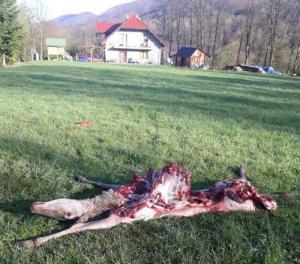 Wilk zagryzł łanię między domami! Bądźcie ostrożni, nie wywołujmy wilka z lasu!